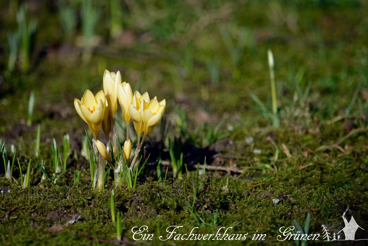 Crocus chrysanthus, Cream Beauty, Balkan-Krokus