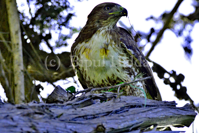 Hawk pausing during a meal