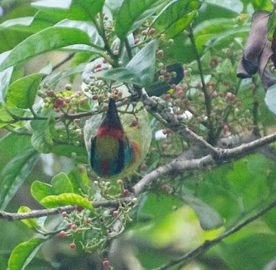 Black-browed Barbet (Psilopogon oorti)