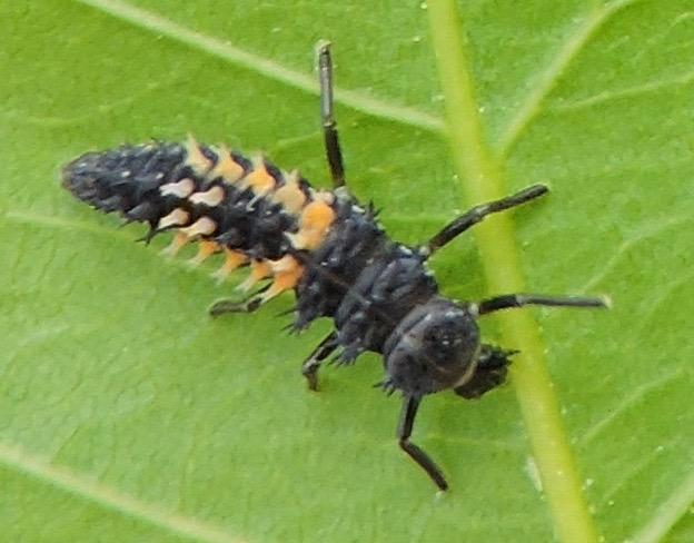Asian Beetle Larvae 97