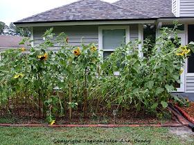 Sunflower Garden Impacted by Wind