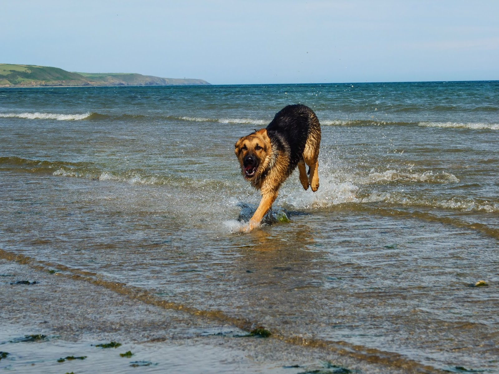 A giddy German Shepherd pup running on the beach and water.