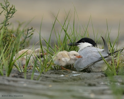 Gull-billed Tern with young © Michael Kilpatrick