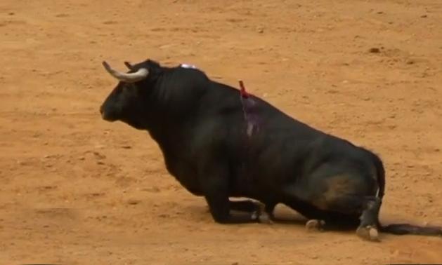 toro parapléjico en corrida de Logroño
