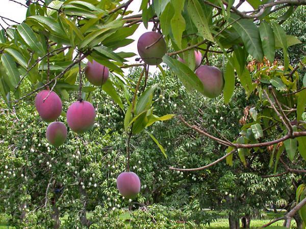 Frutti di Mango Florida