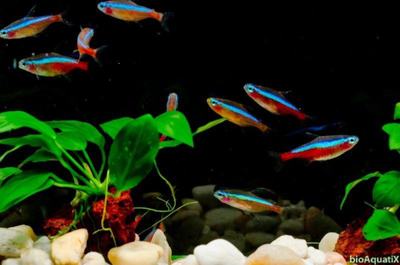 ikan neon tetra cardinal