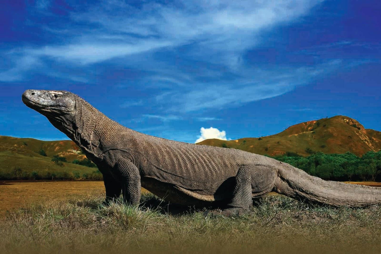 Sejarah Komodo Sang Dinosaurus Terakhir di Muka Bumi