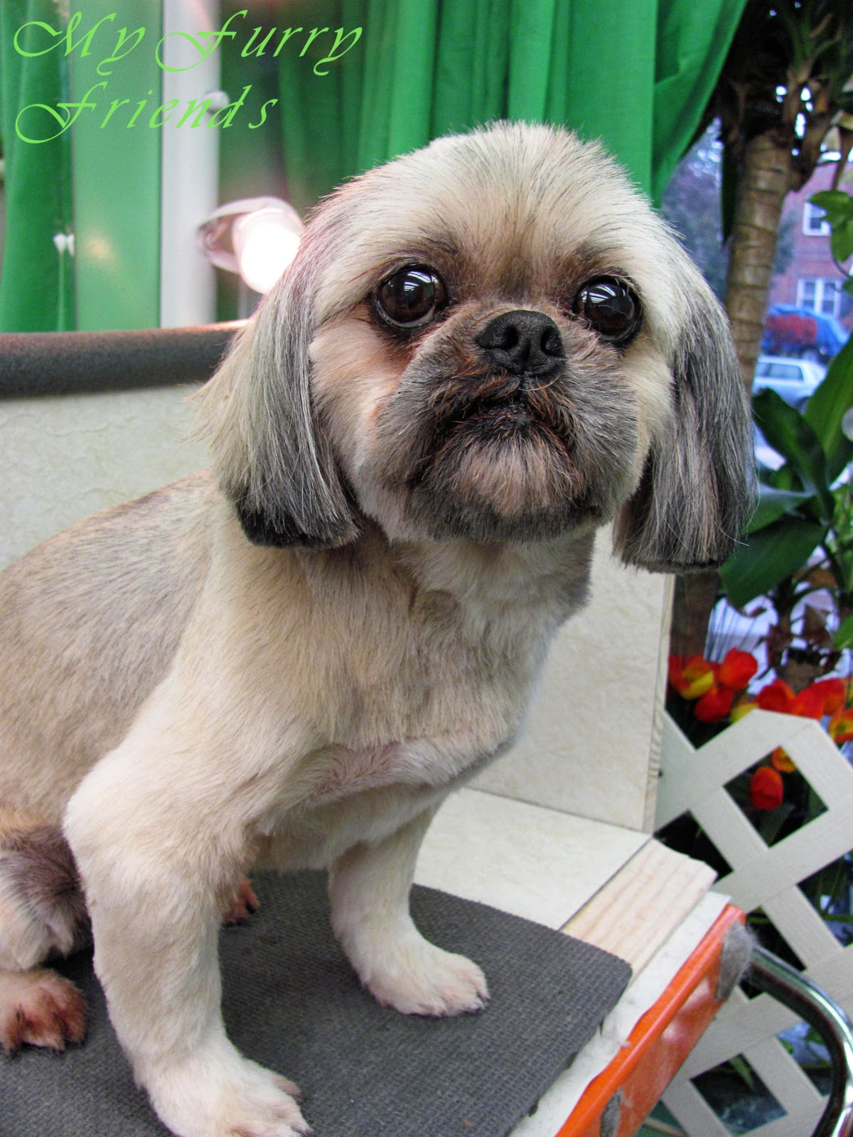 pet grooming: the good, the bad, & the furry: scissoring a shih