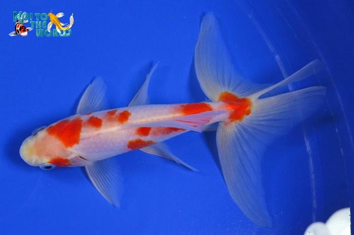 Koi To The World: Watonai Goldfish