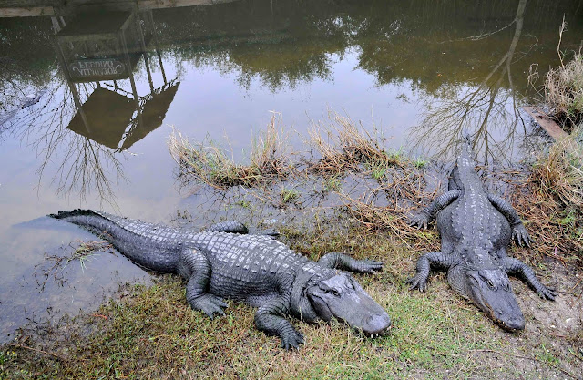 Alligator adventure in Myrtle beach SC