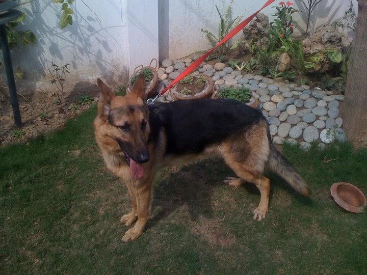 Pet Supplies Pakistan: Pure German Shepherd Dog for sale