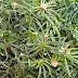 Σταμναγκάθι: Ένα βότανο με πολλές θεραπευτικές ιδιότητες