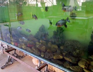 Piranha habitat