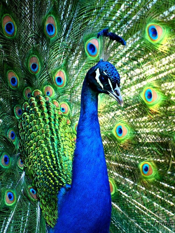 Mis galgas yo y the ruby slippers hay algo parecido en belleza a un pavo real - Fotos de un pavo real ...