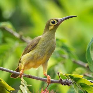 Burung Pijantung Tasmak