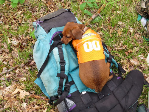 dog sleeping on a backpack