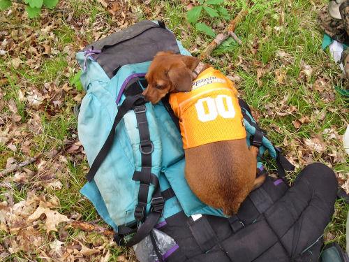 dog sleeping on a backpack