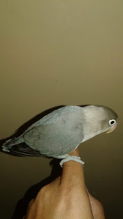 Cara melatih lovebird agar jinak dan bisa Free Flight (FF)
