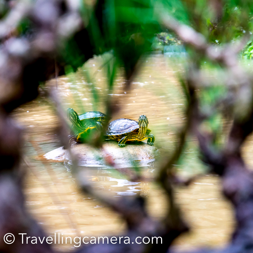 There were these lovely turtles around the water pond inside Hakone Gardens.