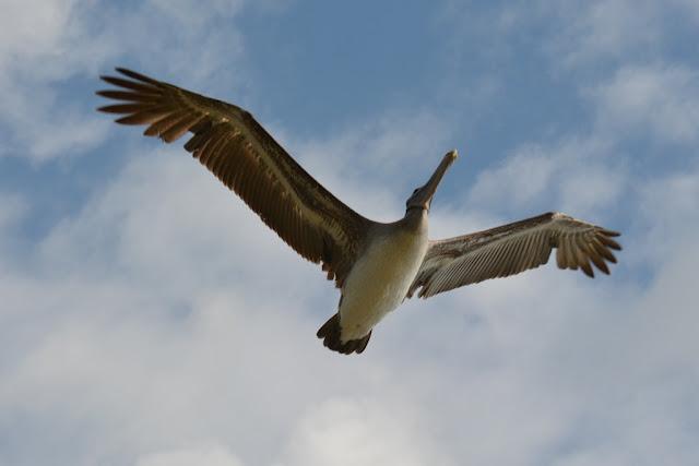 Cerro Dragon Galapagos pelican