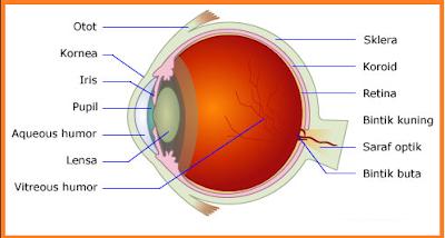 materi ajar ipa / biologi tentang mata. Bagian Bagian Mata, bagaimana urutan proses melihat pada mata, sebutkan cacat cacat pada mata