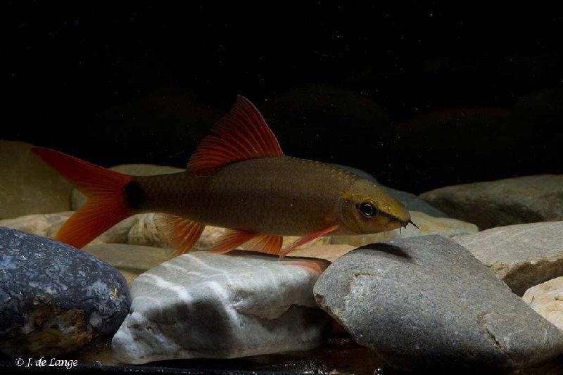 Sifat Ikan Redfin Yang Sesungguhnya Harus Kamu Ketahui Sebelum