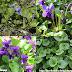 Hoa tím thơm - Sweet Violet