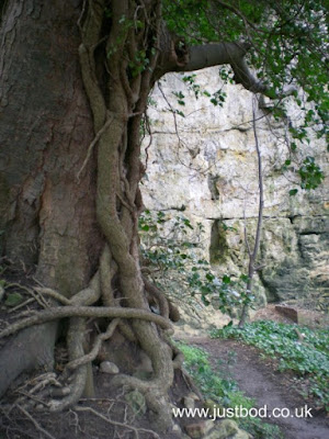 Ivy clad tree in Nidd Gorge, Knaresborough
