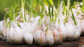 garlic for anti-oxidant