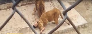 Dois leões são mortos após rapaz atirar-se em jaula; veja vídeo