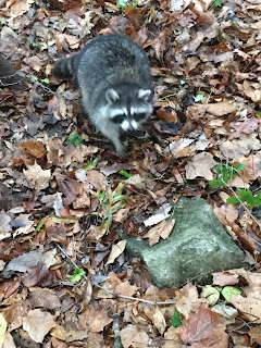 Raccoon, Trapping, Raccoon Trapping