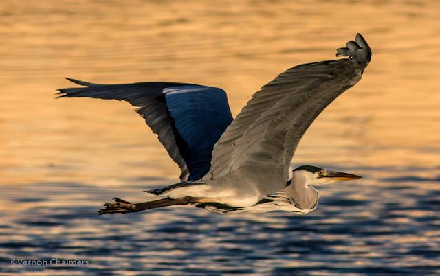 Grey Heron Canon EOS 700D / Woodbridge Island Cape Town