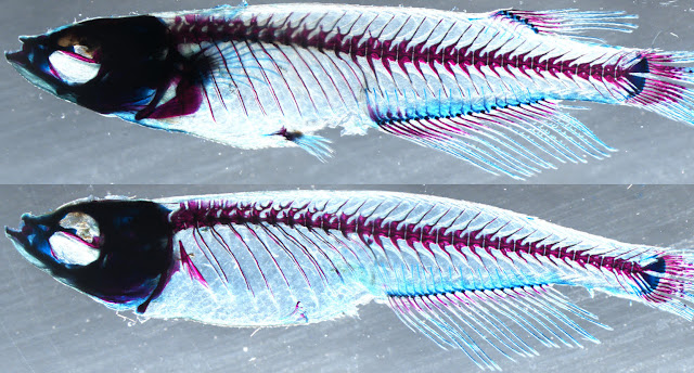 Genetic analysis uncovers the evolutionary origin of vertebrate limbs