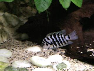 Cichlidé bagnard - Amatitlania nigrofasciata - Cichlidé zèbre - Cichlidé à bande