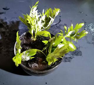 鉢植えに再び植栽されたウォーター・ウィステリア