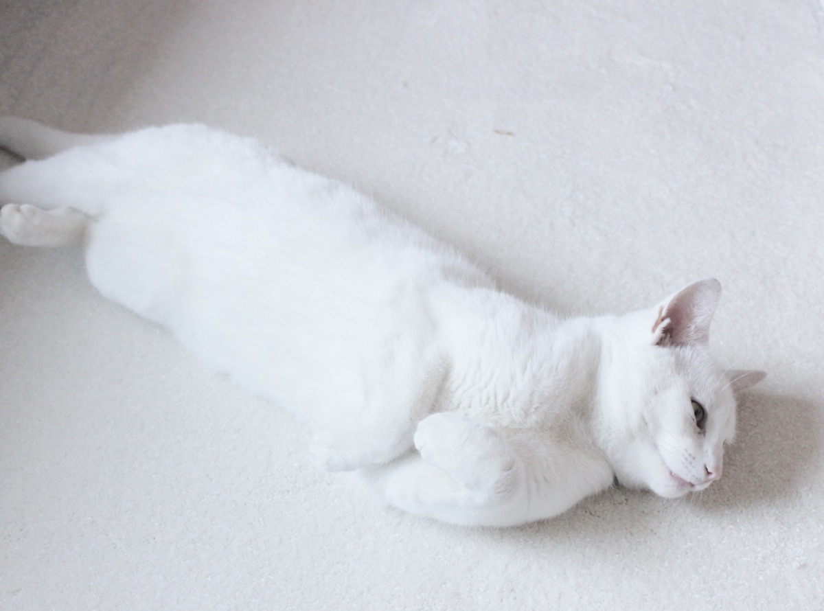 White Cat Camouflaged Into Carpet