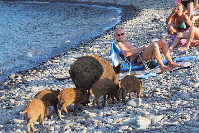 Дикий кабан и ее поросята прибежали на пляж