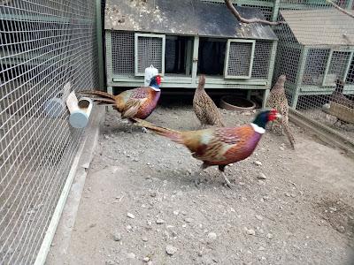 makanan ayam ringneck pheasant