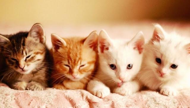 Inilah Tujuh Fakta Menarik Seputar Hewan Kucing Yang Jarang Diketahui