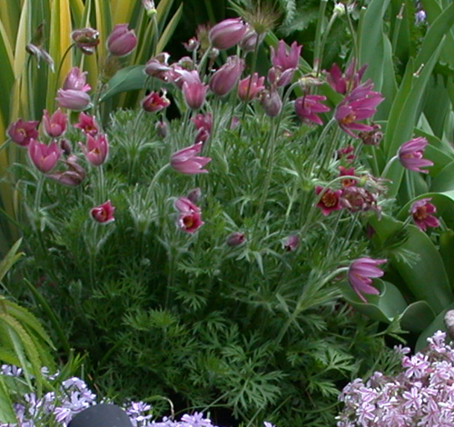 Maroon Garden Ideas: Carlseng Designs: Spring Plants And Timing Tips