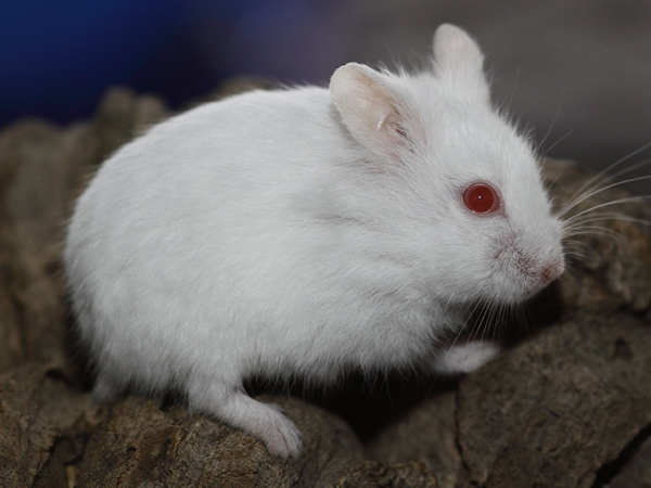 white dwarf hamster with red eyes - photo #7