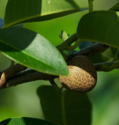 Pond Apple (Annona glabra)