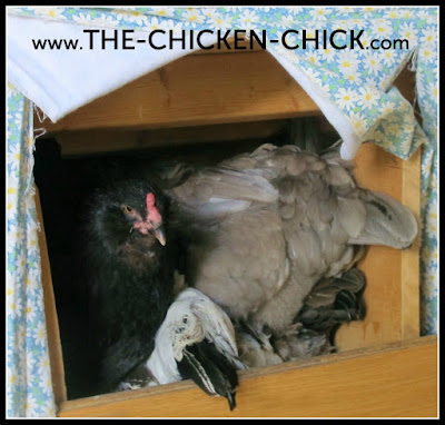 Some chicken keepers mistakenly believe that nesting boxes should provide a comfortable lounging areas for hens, but nesting material is not intended to provide a cozy sanctuary for hens to nestle into for the long-haul.