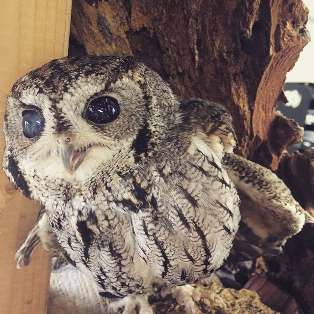 A blind Owl named Zeus