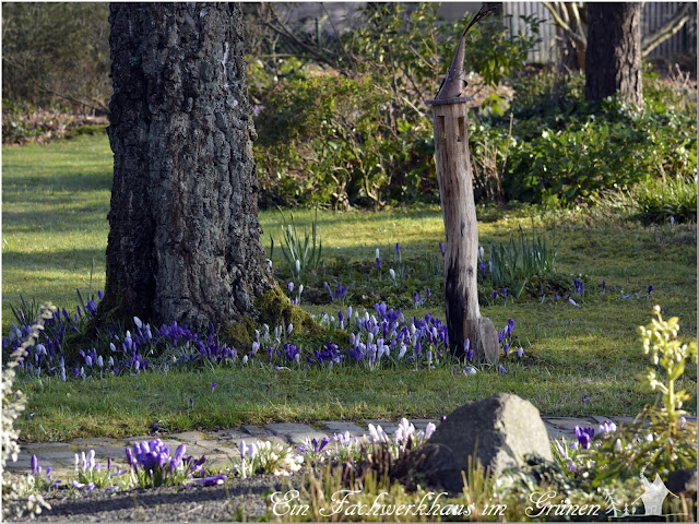 Krokusse, Garten