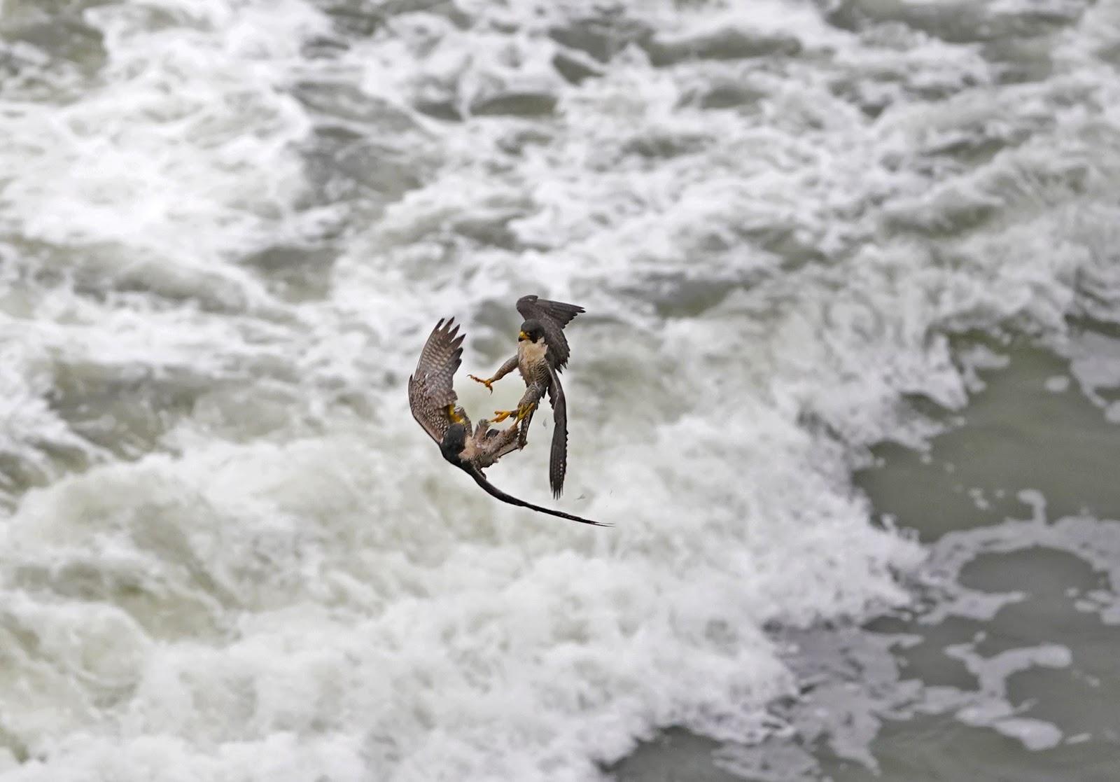 Хищные птицы, фотограф Алекс Фан