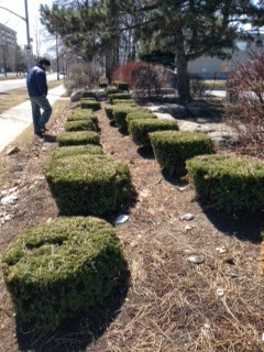 Poor commercial landscape yew pruning by garden muses: not another Toronto gardening blog