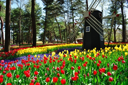 ทุ่งดอกทิวลิป (Tulip) @ สวนฮิตาชิซีไซด์ (Hitachi Seaside Park) @ www.hitachikaihin.jp