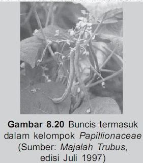 Tanaman Buncissalah satu dari Papillionaceae