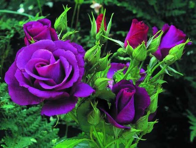 bó hoa hồng tím đẹp nhất thế giới 2